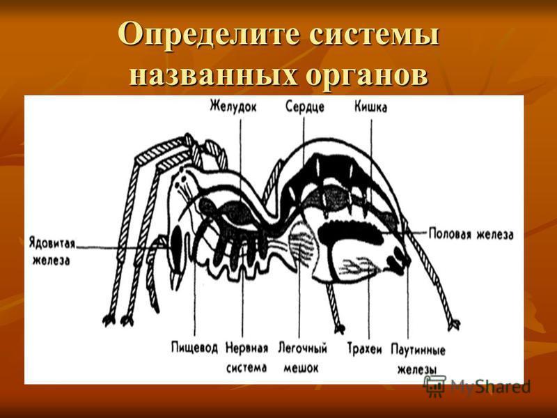 Определите системы названных органов