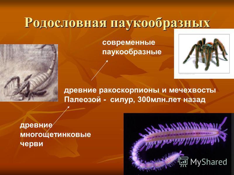 Родословная паукообразных древние многощетинковые черви древние ракоскорпионы и мечехвосты Палеозой - силур, 300 млн.лет назад современные паукообразные