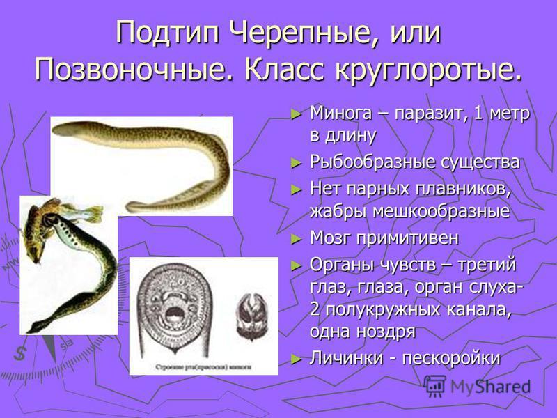 Подтип Черепные, или Позвоночные. Класс круглоротые. Минога – паразит, 1 метр в длину Рыбообразные существа Нет парных плавников, жабры мешкообразные Мозг примитивен Органы чувств – третий глаз, глаза, орган слуха- 2 полукружных канала, одна ноздря Л