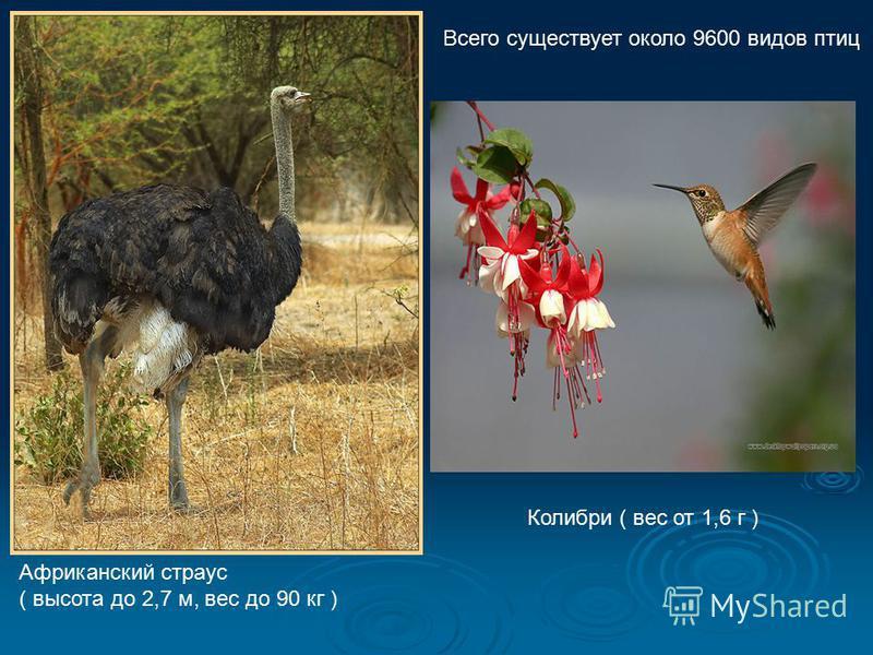 Африканский страус ( высота до 2,7 м, вес до 90 кг ) Колибри ( вес от 1,6 г ) Всего существует около 9600 видов птиц