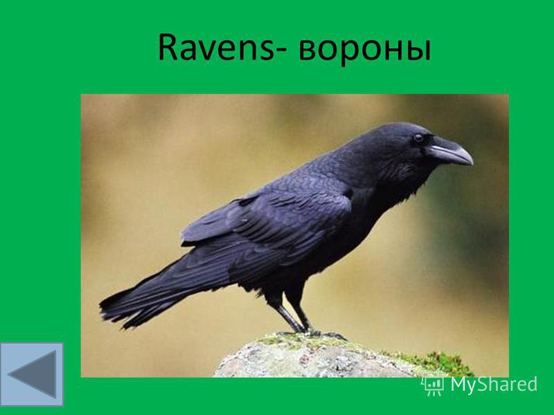 Ravens- вороны
