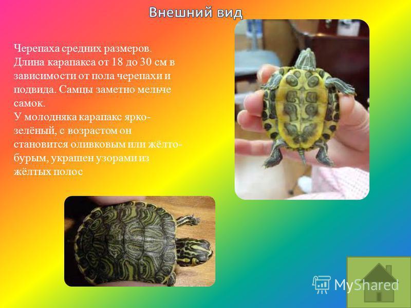 Черепаха средних размеров. Длина карапакса от 18 до 30 см в зависимости от пола черепахи и подвида. Самцы заметно мельче самок. У молодняка карапакс ярко- зелёный, с возрастом он становится оливковым или жёлто- бурым, украшен узорами из жёлтых полос