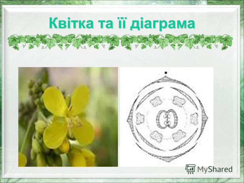 Формула квітки * Ч 4 П 2 +2 Т 2+4 М (2)