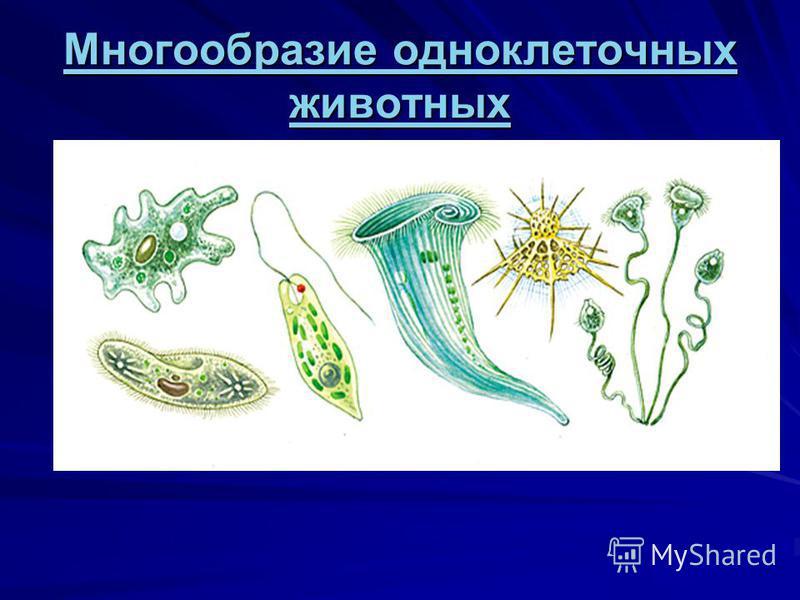 Многообразие одноклеточных животных Многообразие одноклеточных животных