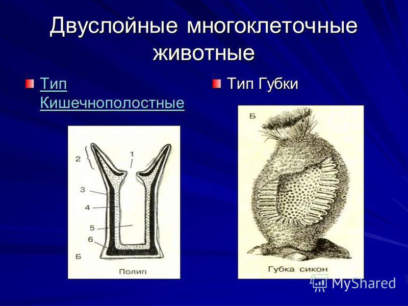 Двуслойные многоклеточные животные Тип Кишечнополостные Тип Кишечнополостные Тип Губки