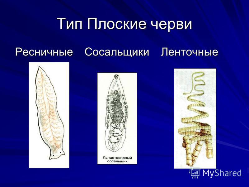 Тип Плоские черви Ресничные Сосальщики Ленточные