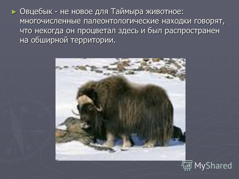 Овцебык - не новое для Таймыра животное: многочисленные палеонтологические находки говорят, что некогда он процветал здесь и был распространен на обширной территории. Овцебык - не новое для Таймыра животное: многочисленные палеонтологические находки