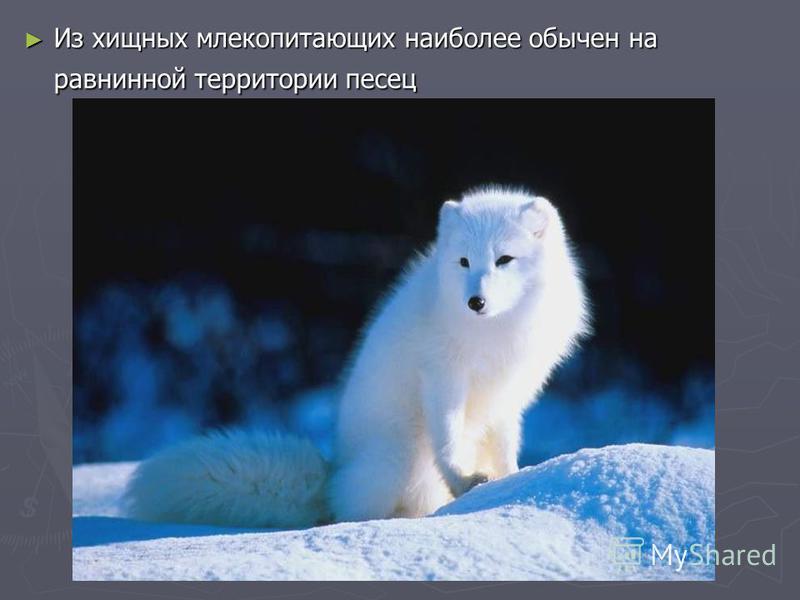 Из хищных млекопитающих наиболее обычен на равнинной территории песец Из хищных млекопитающих наиболее обычен на равнинной территории песец