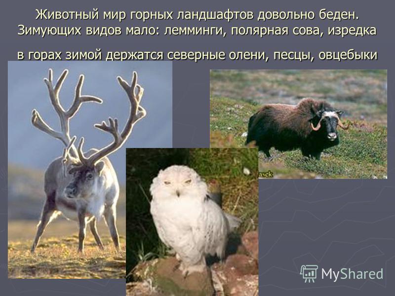 Животный мир горных ландшафтов довольно беден. Зимующих видов мало: лемминги, полярная сова, изредка в горах зимой держатся северные олени, песцы, овцебыки