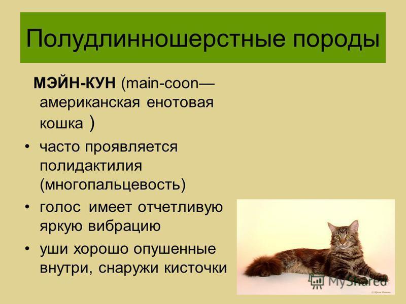 МЭЙН-КУН (main-coon американская енотовая кошка ) часто проявляется полидактилия (многопальцевость) голос имеет отчетливую яркую вибрацию уши хорошо опушенные внутри, снаружи кисточки Полудлинношерстные породы