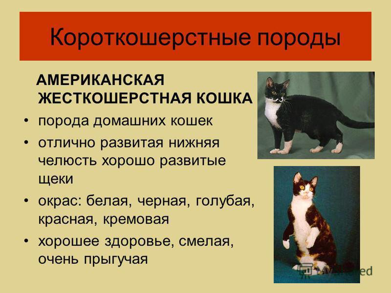 АМЕРИКАНСКАЯ ЖЕСТКОШЕРСТНАЯ КОШКА порода домашних кошек отлично развитая нижняя челюсть хорошо развитые щеки окрас: белая, черная, голубая, красная, кремовая хорошее здоровье, смелая, очень прыгучая Короткошерстные породы