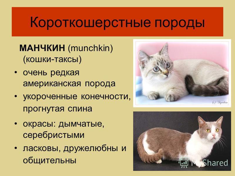 МАНЧКИН (munchkin) (кошки-таксы) очень редкая американская порода укороченные конечности, прогнутая спина окрасы: дымчатые, серебристыми ласковы, дружелюбны и общительны Короткошерстные породы