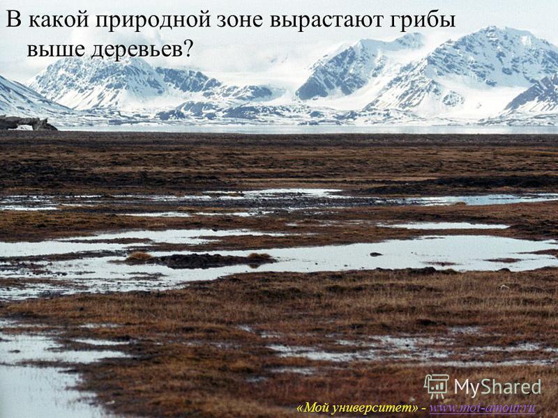 «Мой университет – www.moi-amour.ru В какой природной зоне вырастают грибы выше деревьев? «Мой университет» - www.moi-amour.ruwww.moi-amour.ru