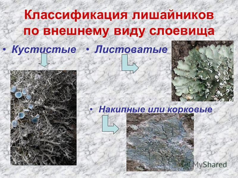 Классификация лишайников по внешнему виду слоевища Кустистые Листоватые Накипные или корковые