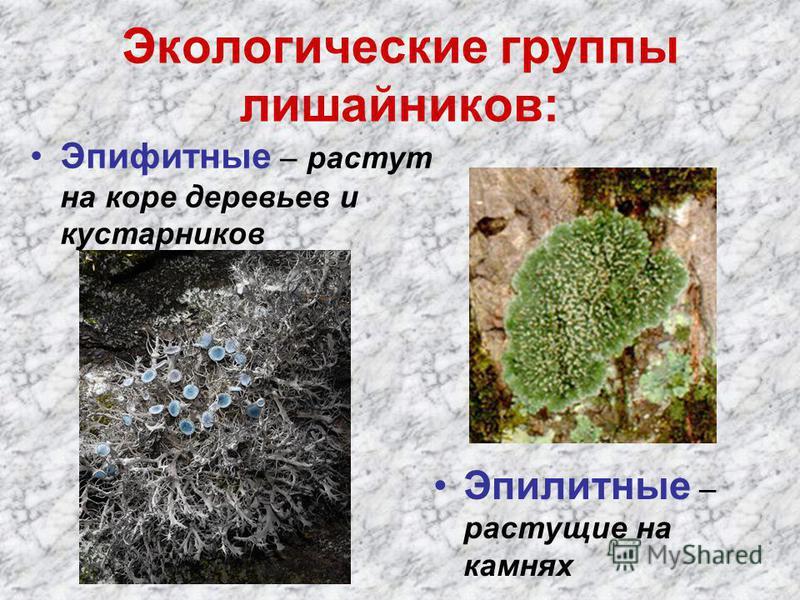 Экологические группы лишайников: Эпифитные – растут на коре деревьев и кустарников Эпилитные – растущие на камнях