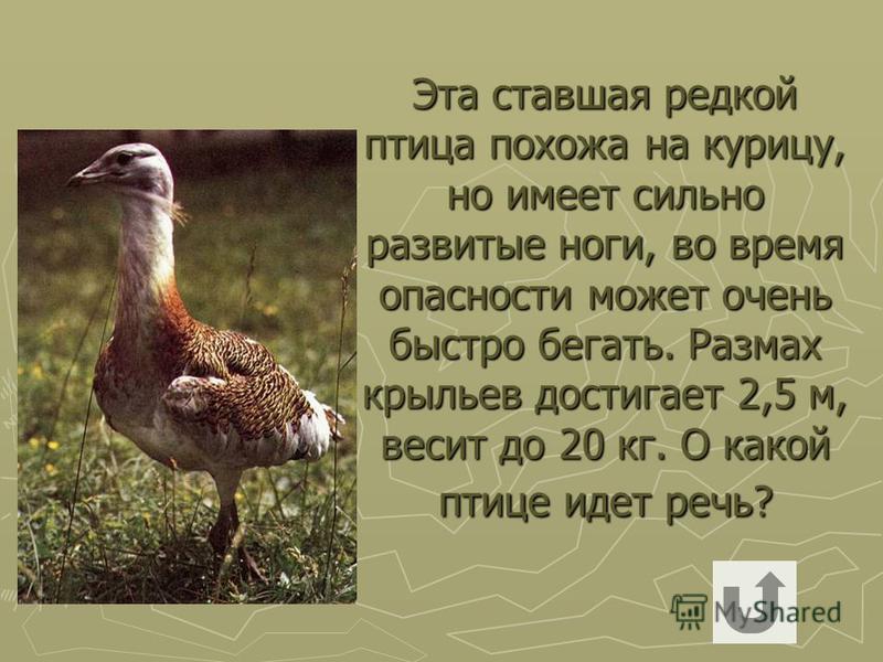 Эта ставшая редкой птица похожа на курицу, но имеет сильно развитые ноги, во время опасности может очень быстро бегать. Размах крыльев достигает 2,5 м, весит до 20 кг. О какой птице идет речь?