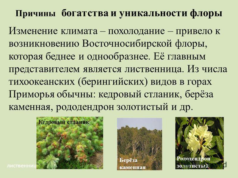 Причины богатства и уникальности флоры Изменение климата – похолодание – привело к возникновению Восточносибирской флоры, которая беднее и однообразнее. Её главным представителем является лиственница. Из числа тихоокеанских (берингийских) видов в гор