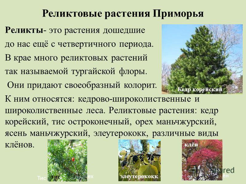 Реликтовые растения Приморья Реликты- это растения дошедшие до нас ещё с четвертичного периода. В крае много реликтовых растений так называемой тургайской флоры. Они придают своеобразный колорит. К ним относятся: кедрово-широколиственные и широколист