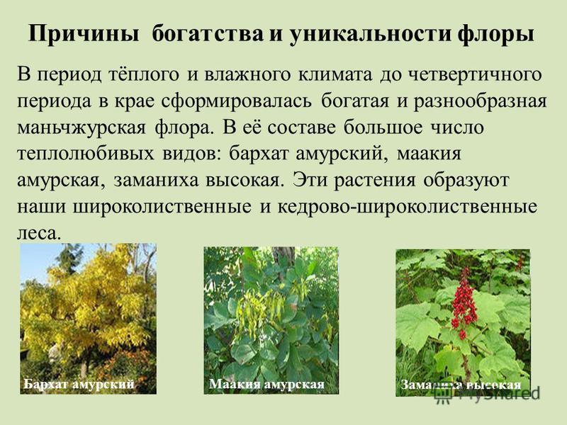 Причины богатства и уникальности флоры В период тёплого и влажного климата до четвертичного периода в крае сформировалась богатая и разнообразная маньчжурская флора. В её составе большое число теплолюбивых видов: бархат амурский, маакия амурская, зам