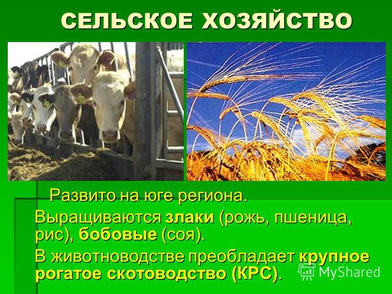 СЕЛЬСКОЕ ХОЗЯЙСТВО СЕЛЬСКОЕ ХОЗЯЙСТВО Развито на юге региона. Развито на юге региона. Выращиваются злаки (рожь, пшеница, рис), бобовые (соя). Выращиваются злаки (рожь, пшеница, рис), бобовые (соя). В животноводстве преобладает крупное рогатое скотово