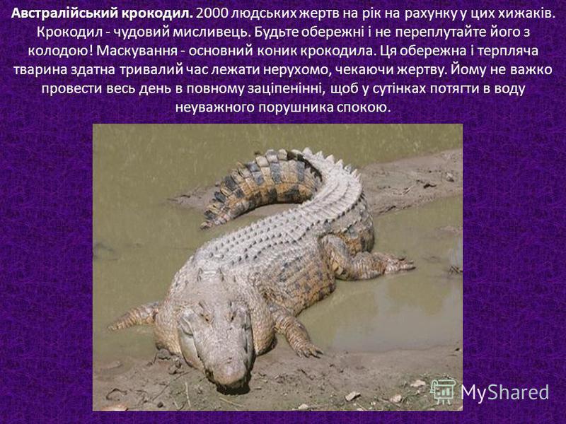 Австралійський крокодил. Австралійський крокодил. 2000 людських жертв на рік на рахунку у цих хижаків. Крокодил - чудовий мисливець. Будьте обережні і не переплутайте його з колодою! Маскування - основний коник крокодила. Ця обережна і терпляча твари