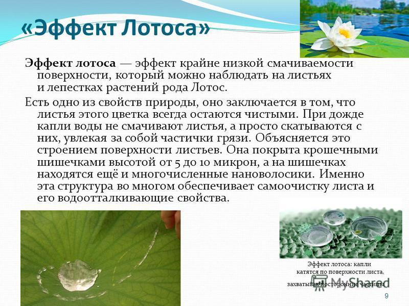 «Эффект Лотоса» Эффект лотоса эффект крайне низкой смачиваемости поверхности, который можно наблюдать на листьях и лепестках растений рода Лотос. Есть одно из свойств природы, оно заключается в том, что листья этого цветка всегда остаются чистыми. Пр