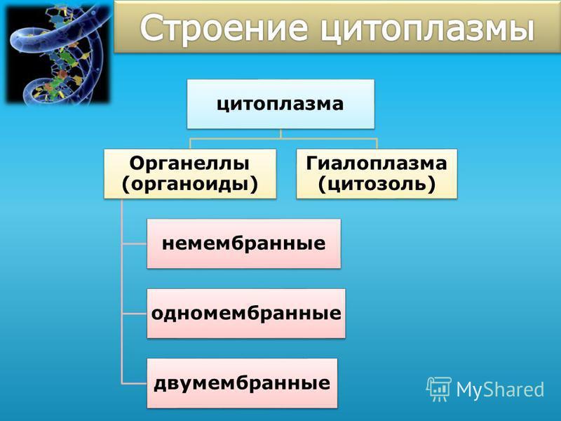 цитоплазма Органеллы (органоиды) немембранные одномембранные двумембранные Гиалоплазма (цитозоль)