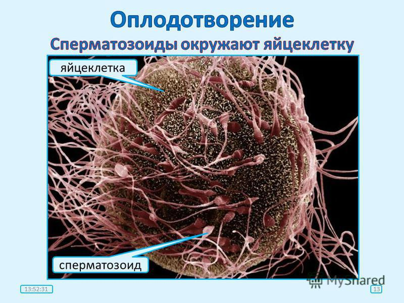 яйцеклетка сперматозоид 1313:54:07
