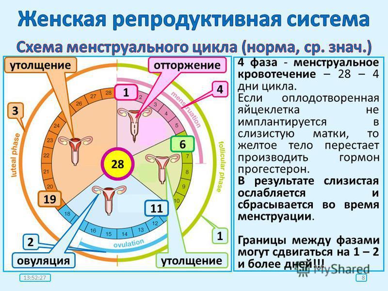 Менструальный цикл физиология