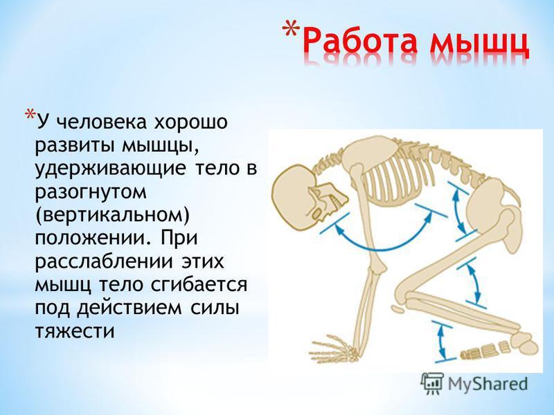 * У человека хорошо развиты мышцы, удерживающие тело в разогнутом (вертикальном) положении. При расслаблении этих мышц тело сгибается под действием силы тяжести