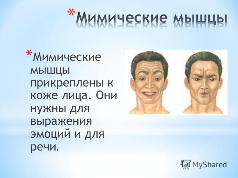 * Мимические мышцы прикреплены к коже лица. Они нужны для выражения эмоций и для речи.
