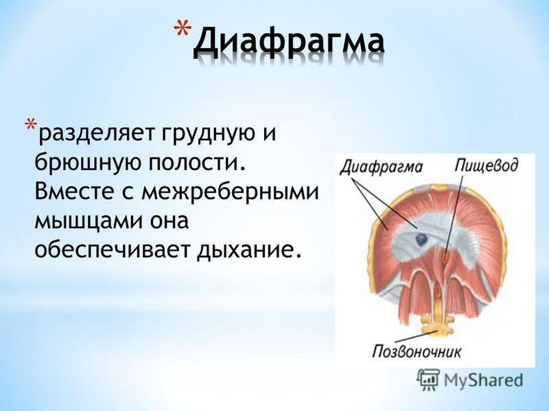 * разделяет грудную и брюшную полости. Вместе с межреберными мышцами она обеспечивает дыхание.