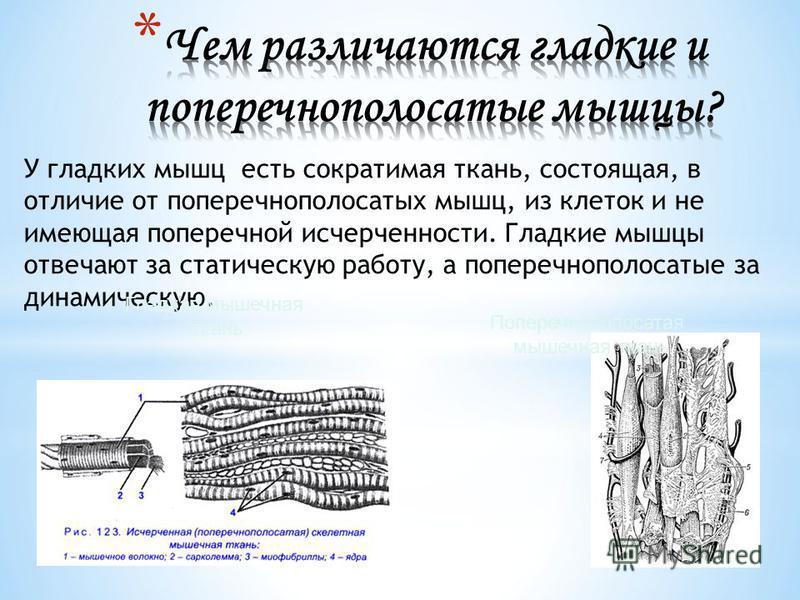 У гладких мышц есть сократимая ткань, состоящая, в отличие от поперечнополосатых мышц, из клеток и не имеющая поперечной исчерченности. Гладкие мышцы отвечают за статическую работу, а поперечнополосатые за динамическую. Поперечнополосатая мышечная тк