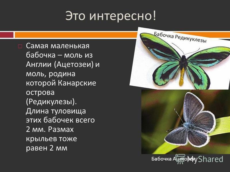 Это интересно ! Павлиноглазка Атлас – самая крупная ночная бабочка, которую можно принять за птицу, т. к. размах ее крыльев - 30 см