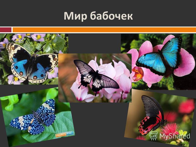 Это интересно ! Самая маленькая бабочка – моль из Англии ( Ацетозеи ) и моль, родина которой Канарские острова ( Редикулезы ). Длина туловища этих бабочек всего 2 мм. Размах крыльев тоже равен 2 мм Бабочка Редикуклезы Бабочка Ацетозеи