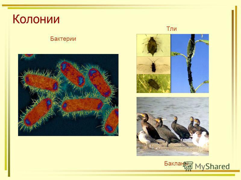 Колонии Бактерии Тли Бакланы