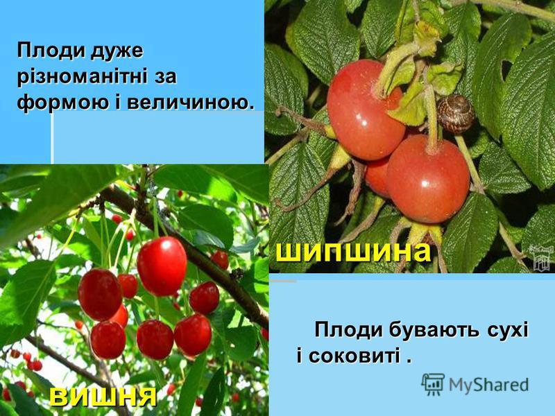 Плоди дуже різноманітні за формою і величиною. Плоди бувають сухі і соковиті. шипшина вишня