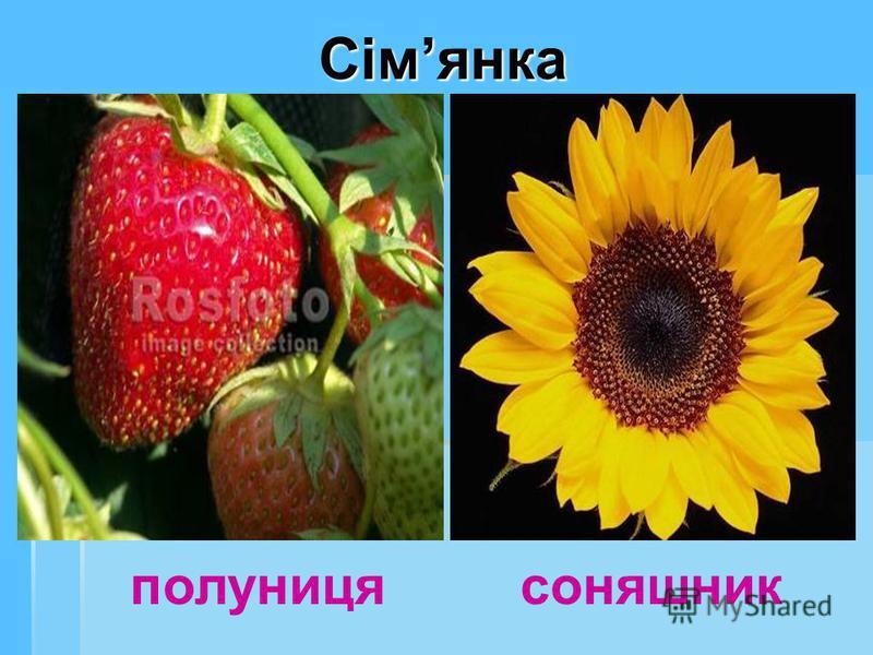 Сімянка полуниця соняшник