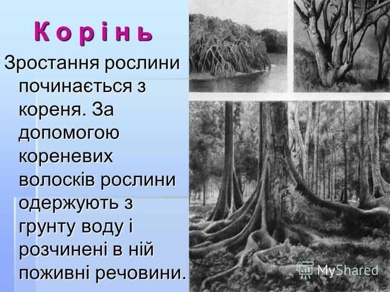 К о р і н ь К о р і н ь Зростання рослини починається з кореня. За допомогою кореневих волосків рослини одержують з грунту воду і розчинені в ній поживні речовини.