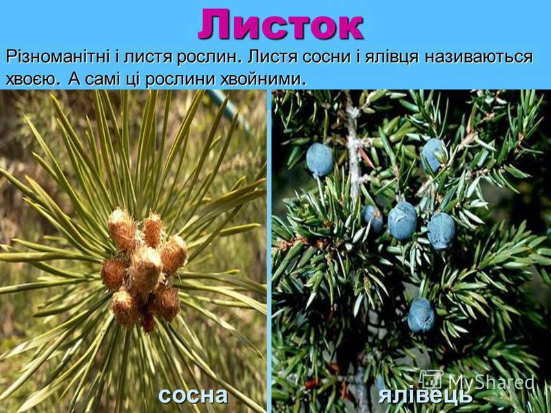 Листок соснаялівець сосна ялівець Різноманітні і листя рослин. Листя сосни і ялівця називаються хвоєю. А самі ці рослини хвойними.