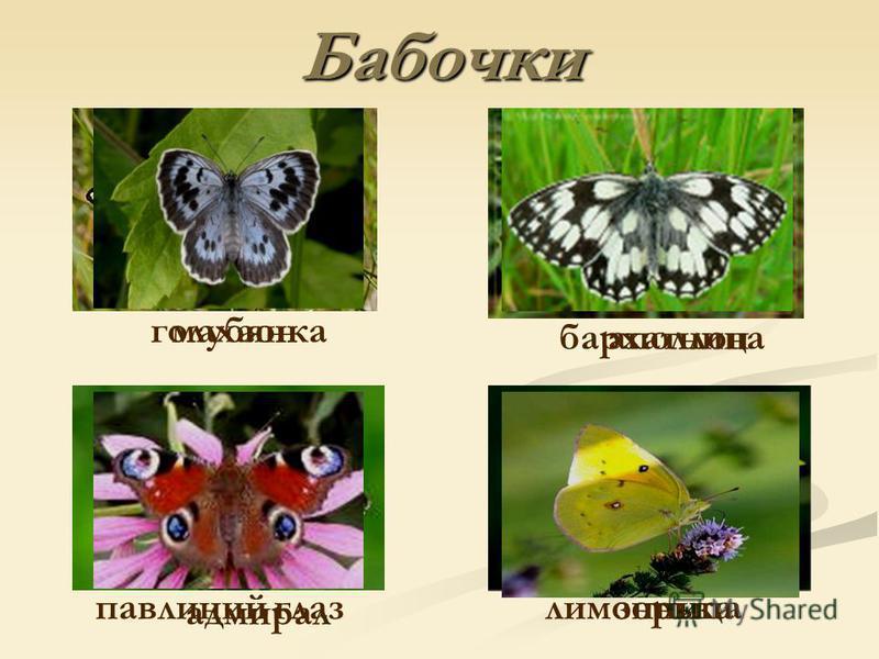 Бабочки махаон аполлон адмирал зорька голубянка бархатница павлиний глаз лимонница