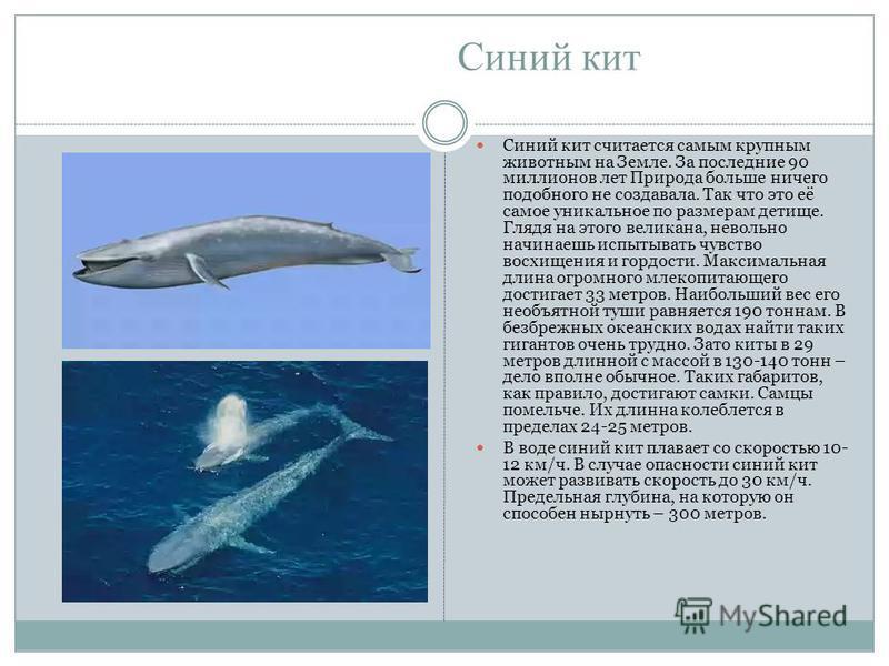 Синий кит Синий кит считается самым крупным животным на Земле. За последние 90 миллионов лет Природа больше ничего подобного не создавала. Так что это её самое уникальное по размерам детище. Глядя на этого великана, невольно начинаешь испытывать чувс
