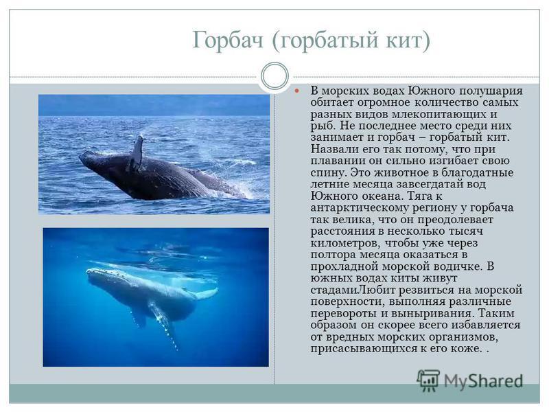 Горбач (горбатый кит) В морских водах Южного полушария обитает огромное количество самых разных видов млекопитающих и рыб. Не последнее место среди них занимает и горбач – горбатый кит. Назвали его так потому, что при плавании он сильно изгибает свою