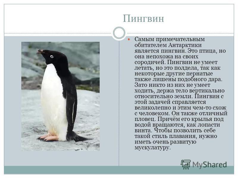 Пингвин Самым примечательным обитателем Антарктики является пингвин. Это птица, но она непохожа на своих сородичей. Пингвин не умеет летать, но это полдела, так как некоторые другие пернатые также лишены подобного дара. Зато никто из них не умеет ход