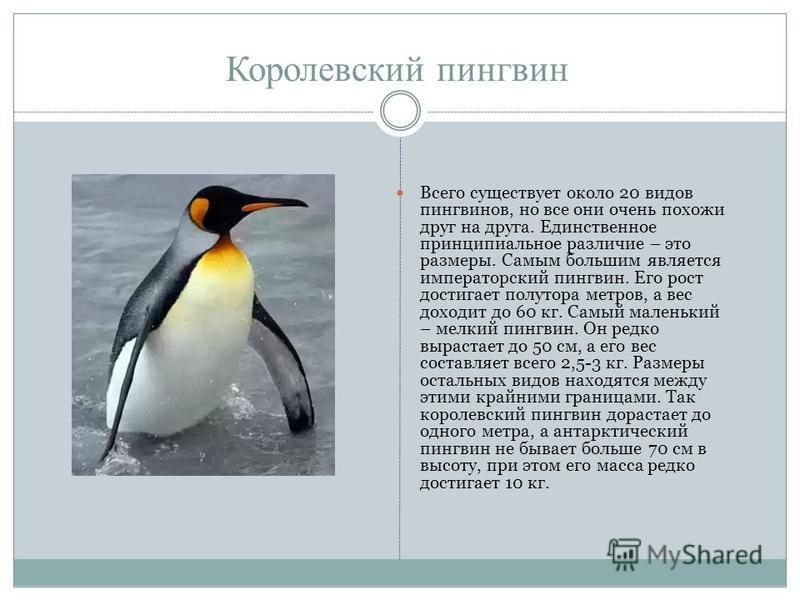 Королевский пингвин Всего существует около 20 видов пингвинов, но все они очень похожи друг на друга. Единственное принципиальное различие – это размеры. Самым большим является императорский пингвин. Его рост достигает полутора метров, а вес доходит