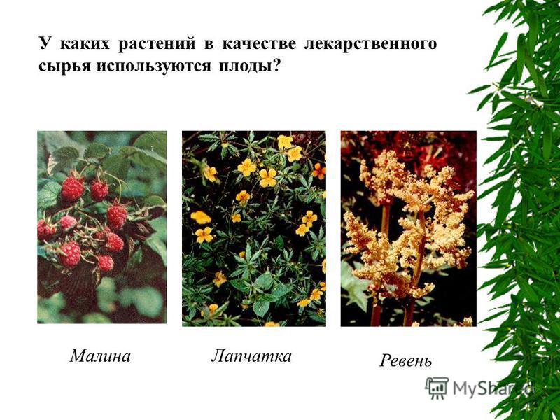 У каких растений в качестве лекарственного сырья используются плоды? Малина Лапчатка Ревень