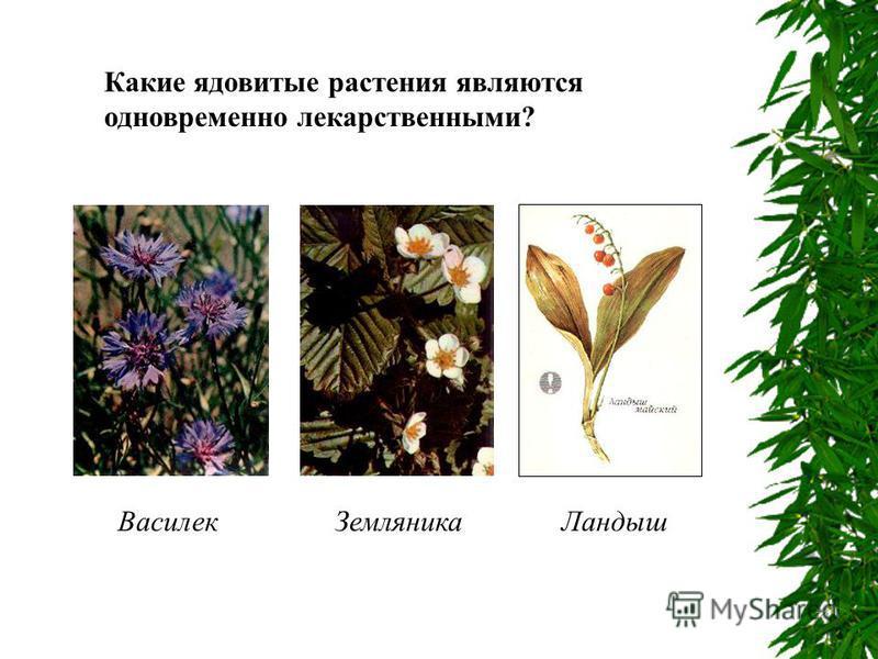 Какие ядовитые растения являются одновременно лекарственными? Василек ЗемляникаЛандыш