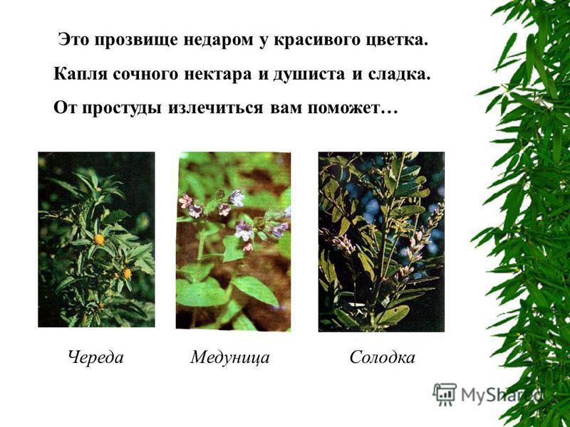 Это прозвище недаром у красивого цветка. Капля сочного нектара и душиста и сладка. От простуды излечиться вам поможет… Череда МедуницаСолодка