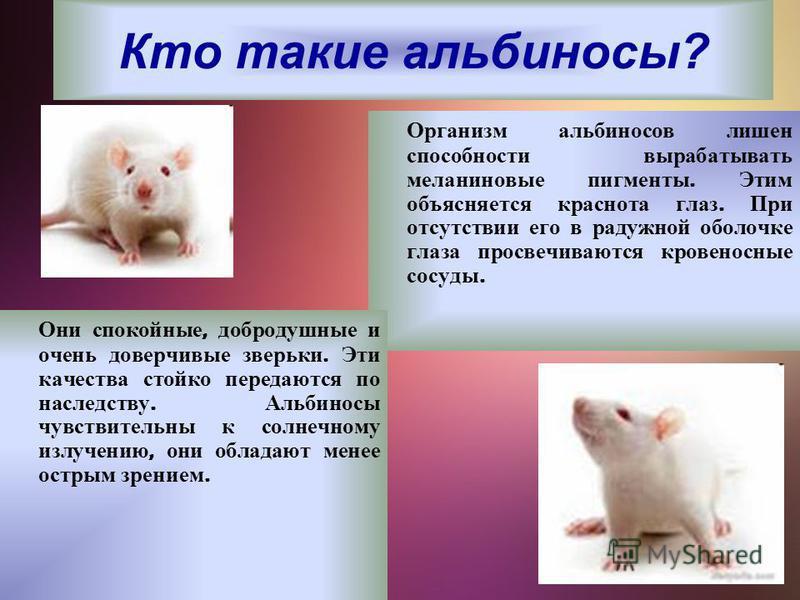 Кто такие альбиносы? Организм альбиносов лишен способности вырабатывать меланиновые пигменты. Этим объясняется краснота глаз. При отсутствии его в радужной оболочке глаза просвечиваются кровеносные сосуды. Они спокойные, добродушные и очень доверчивы