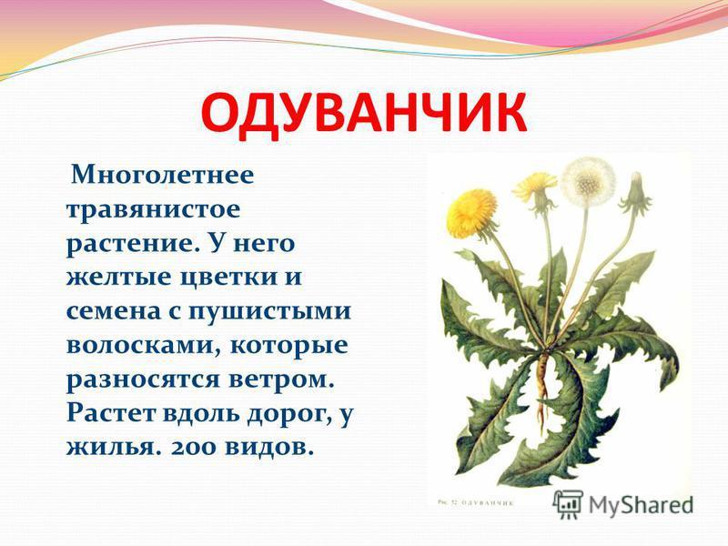 ОДУВАНЧИК Многолетнее травянистое растение. У него желтые цветки и семена с пушистыми волосками, которые разносятся ветром. Растет вдоль дорог, у жилья. 200 видов.